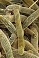 Golden Rat Tail - Cleistocactus winteri (40410228250).jpg