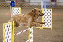 220px-Golden_Retriever_agility_jump