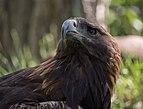 Golden eagle at ACES (11830).jpg