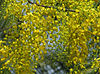Golden shower tree bloom.jpg