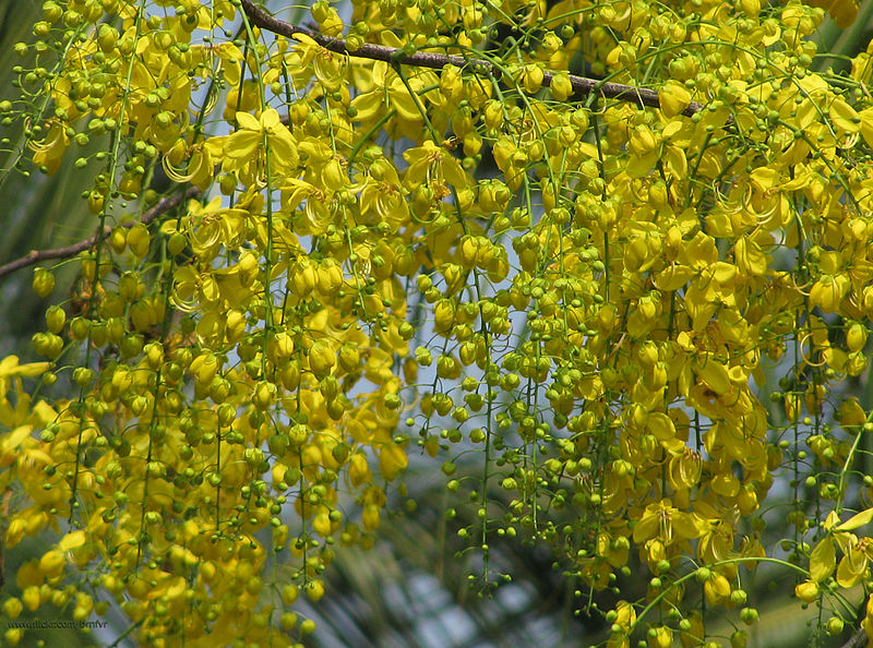 പ്രമാണം:Golden shower tree bloom.jpg