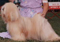 This golden Lhasa Apso has some slight colour variation in his coat, but each hair is a uniform shade and he has no white markings, making him a self coloured dog