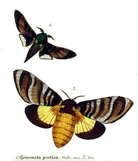 <i>Gonometa postica</i> species of insect