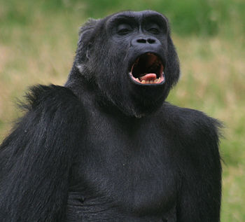English: Gorilla is sticking out her tongue in...