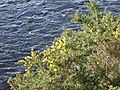 Gorse in bloom by River Dee - geograph.org.uk - 357885.jpg