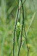Grünes Heupferd ♀ Tettigonia viridissima.JPG
