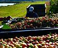 Grape harvest in Altus, AR.jpg