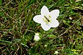 Grass of Parnassus and guest, Heiterwanger See (15168966283).jpg