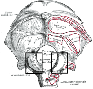 Occipital condyles - Occipital bone. Outer surface. (Condyle for artic. with atlas labeled at lower left.)