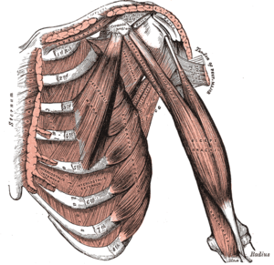 Pectoral muscles - Deep muscles of the chest, including pectoralis minor, serratus anterior, and subclavius (Gray 1918)