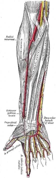 musculus abductor pollicis longus (na obrázku nejvíce vlevo)
