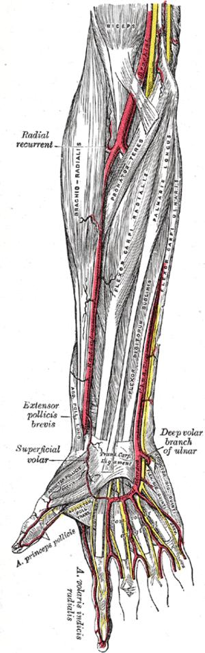 Princeps pollicis artery - Image: Gray 527