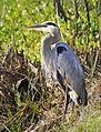 Great Blue Heron - Flickr - Andrea Westmoreland (1).jpg