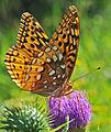 Great Spangled Fritillary (Speyeria cybele) (9543153770).jpg