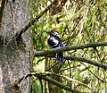 Great Spotted Woodpecker. Dendrocopos major (24795776677).jpg