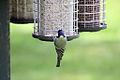 Great Tit - May 2009 (3556814001).jpg