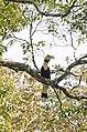 Great hornbill from anaimalai hills2 JEG4790.jpg