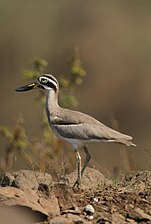 Great thick-knee David Raju (cropped).jpg