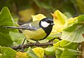 Great tit (26357080509).jpg