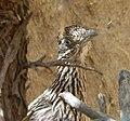 GreaterRoadrunner. Geococcyx californianus - Flickr - gailhampshire.jpg