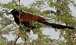 Greater Coucal (Centropus sinensis) W IMG 6637.jpg