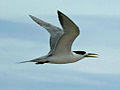 Greater Crested Tern RWD1.jpg