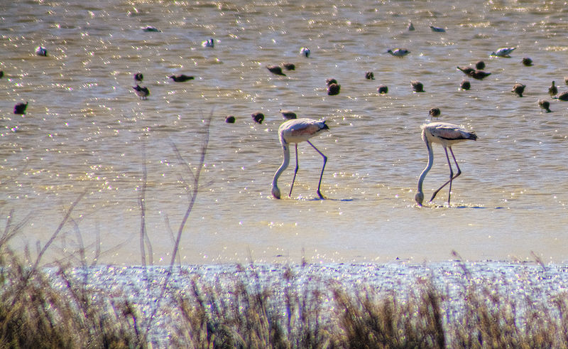 Fichier:Greater Flamingo (2434397048).jpg