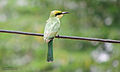 Green Bee Eater (Juvenile).jpg