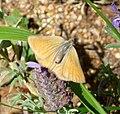 Green Hairstreak. Callophrys rubi. - Flickr - gailhampshire (2).jpg
