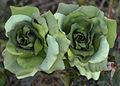 Green Roses (Uetersen 2012) 01.jpg