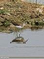 Green Sandpiper (Tringa ochropus) (33156544795).jpg
