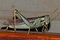 Green Tree Locust (Cyrtacanthacris aeruginosa) (12951018893).jpg