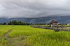 Green and luminous paddy fields under dark clouds, in Don Det.jpg