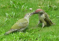 Green woodpeckers feeding in Bristil, UK.jpg
