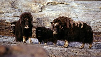 Muskox - Muskox family in east Greenland