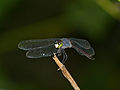 Grenadier Dragonfly (Agrionoptera insignis) (15192992483).jpg