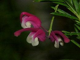Grevillea rosmarinifolia1