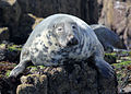 Grey Seal 2 (Halichoerus grypus).jpg