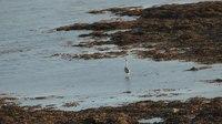 File:Grey heron (Ardea cinerea) on the Aran Islands.webm