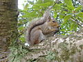 Grey squirrel in rye.jpg