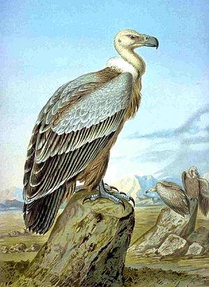 Gyps - Griffon vulture Gyps fulvus