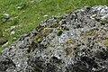 Grimmia alpestris (a, 113335-471123) 1441.JPG