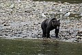 Grizzly on the Nekite River - panoramio - Jack Borno (1).jpg