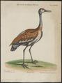 Grus canadensis - 1700-1880 - Print - Iconographia Zoologica - Special Collections University of Amsterdam - UBA01 IZ17300091.tif