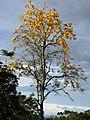Guayacán amarillo (Tabebuia chrysantha) (14092458778).jpg