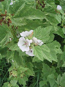 fleurs et feuilles de guimauve officinale