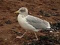 Gull, Shaldon - geograph.org.uk - 1035876.jpg