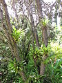 Guzmania monostachia at the Enchanting Floral Gardens of Kula, Maui.jpg