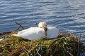 Höckerschwan mit Nest, Cygnus olor, nests with eggs 02.JPG