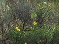 H20130318-6958—Ericameria linearifolia—Mitchell Canyon (8596939531).jpg
